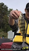 """12.25"""" Yellow Perch caught on Clearwater Bay"""