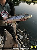 """24"""" Brown Trout caught on Credit River"""