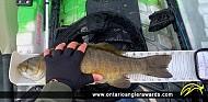 "20"" Smallmouth Bass caught on Little Basswood"
