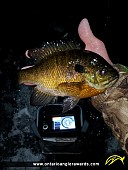 """10"""" Bluegill caught on Clyde River"""