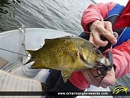 "11"" Rock Bass caught on Rice Lake"