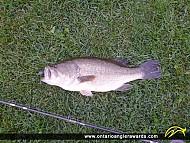 """21"""" Largemouth Bass caught on Rice Lake"""