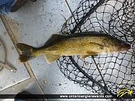 """25"""" Walleye caught on Rice Lake"""