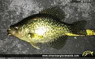 "11"" Black Crappie caught on Rice Lake"