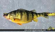 "13.25"" Yellow Perch caught on Lake Simcoe"