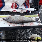 """27.5"""" Whitefish caught on Winnepeg River System"""