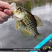 """10.25"""" Black Crappie caught on Pinehurst Lake"""