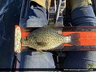 """11.75"""" Black Crappie caught on Ottawa River"""