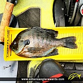"9.75"" Bluegill caught on Big Rideau Lake"