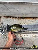 "9.5"" Bluegill caught on Christie Lake"