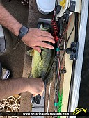 """19.25"""" Largemouth Bass caught on Rideau River"""