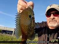 """9"""" Pumpkinseed caught on Lake Scugog"""