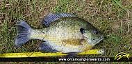 "9.25"" Bluegill caught on Lake Margaret"