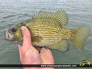 """11"""" Rock Bass caught on Lake Erie"""