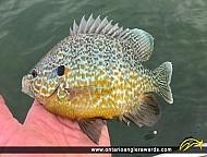 "9.5"" Pumpkinseed caught on Lake Erie"