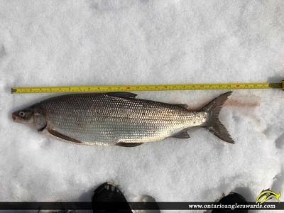 """23.25"""" Whitefish caught on Lake Simcoe"""