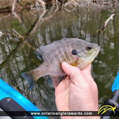 "9"" Bluegill caught on Pinehurst"