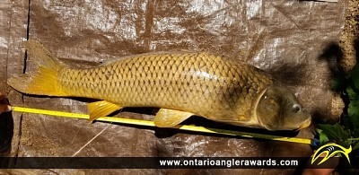 "36"" Carp caught on Thames River"