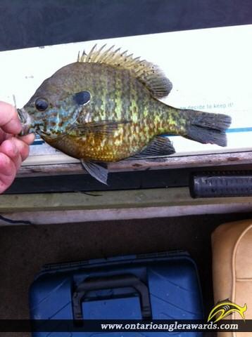 "9.5"" Bluegill caught on Beaver Lake"