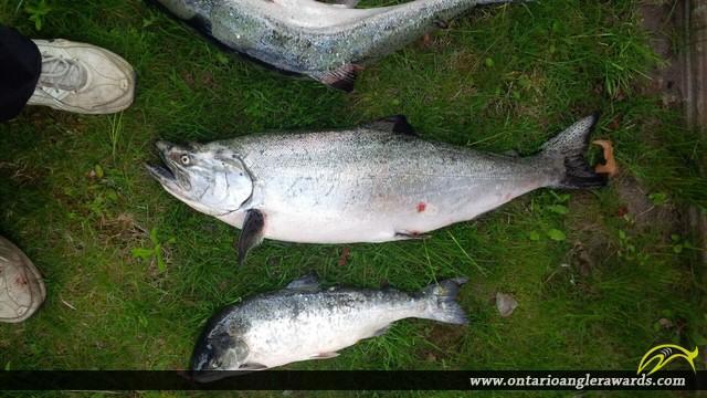 """37"""" Chinook Salmon caught on Lake Ontario"""