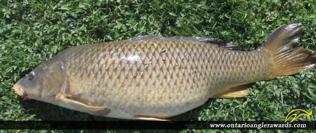 "33.0"" Carp caught on Grand River"
