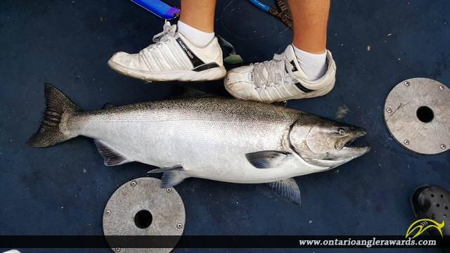 """39.00"""" Chinook Salmon caught on Lake Ontario"""
