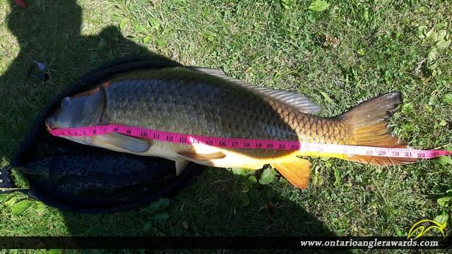 """31.5"""" Carp caught on Rice Lake"""