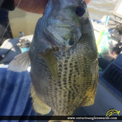 "10.5"" Rock Bass caught on Wabigoon Lake"
