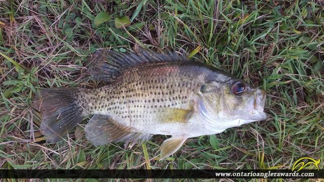 "10"" Rock Bass caught on Big Creek"