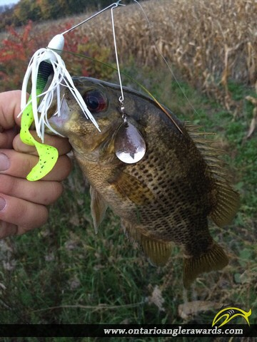 """10"""" Rock Bass caught on Thames River"""