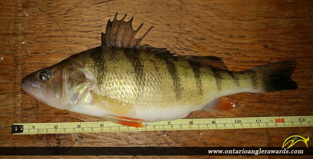 "13.00"" Yellow Perch caught on Lake Nipissing"