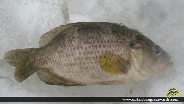 """10.00"""" Rock Bass caught on Magnettawan River"""