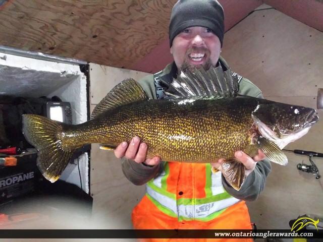 """31"""" Walleye caught on Lake Rosseau"""