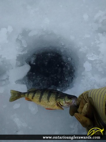 "12"" Yellow Perch caught on Chemong Lake"