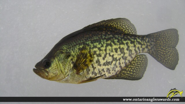 """10.00"""" Black Crappie caught on Whalley Lake"""