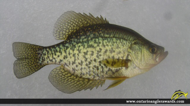 """10.04"""" Black Crappie caught on Whalley Lake"""