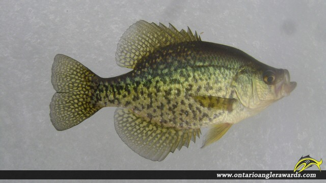 """11.00"""" Black Crappie caught on Whalley Lake"""
