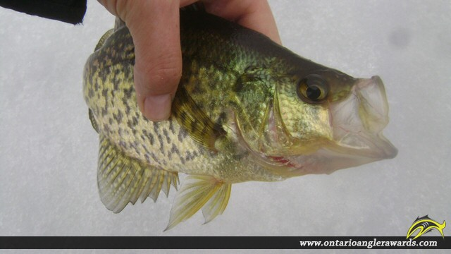 """11.01"""" Black Crappie caught on Whalley Lake"""