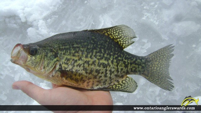"""10.01"""" Black Crappie caught on Whalley Lake"""
