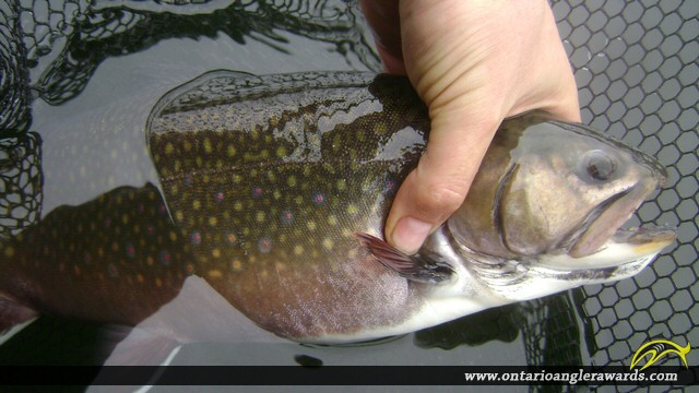 """19.00"""" Brook/Speckled Trout caught on Little Beaver"""
