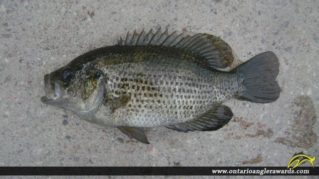 "11.00"" Rock Bass caught on The South River"