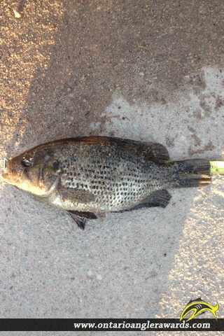 "10"" Rock Bass caught on South River"
