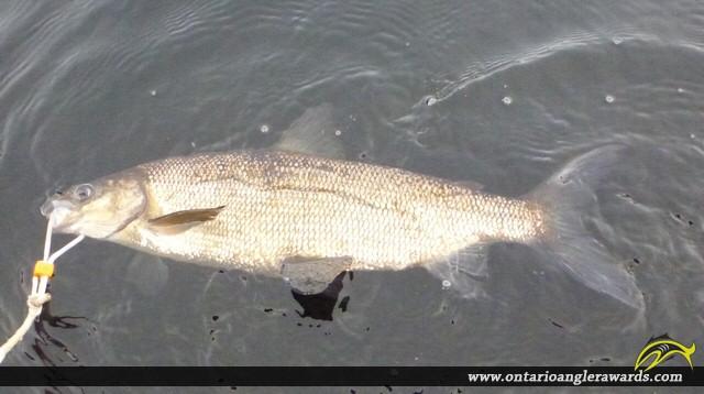"""22"""" Whitefish caught on Wapikaimaski Lake"""