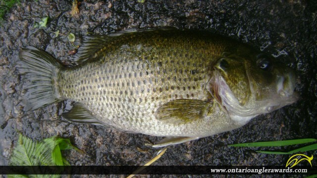 "10.12"" Rock Bass caught on South River"
