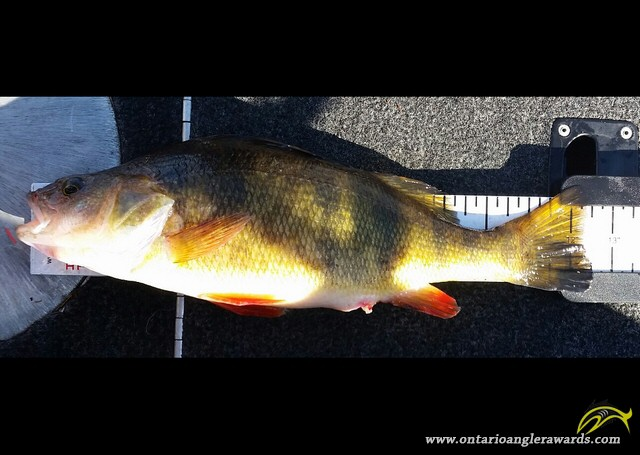 """12.5"""" Yellow Perch caught on Lake of the Woods"""