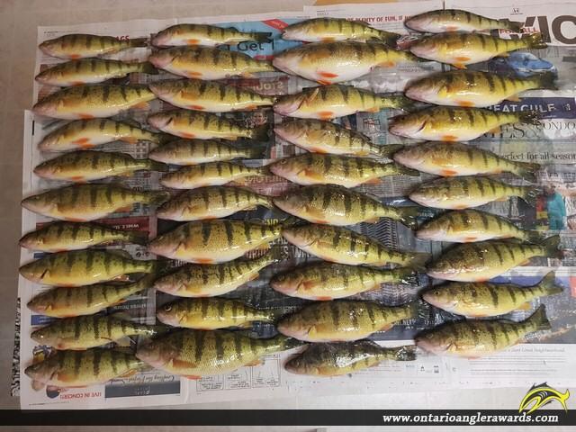 "12.5"" Yellow Perch caught on Lake Simcoe"