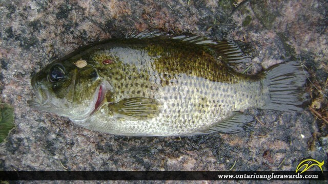 "10.23"" Rock Bass caught on The South River"