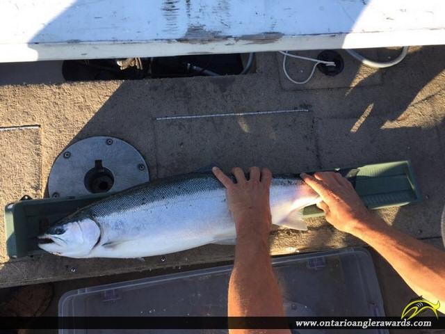 "31"" Rainbow Trout caught on Lake Ontario"