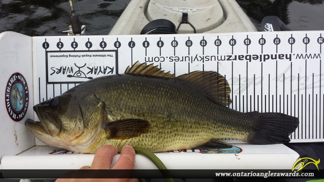 """18.50"""" Largemouth Bass caught on Trent River"""