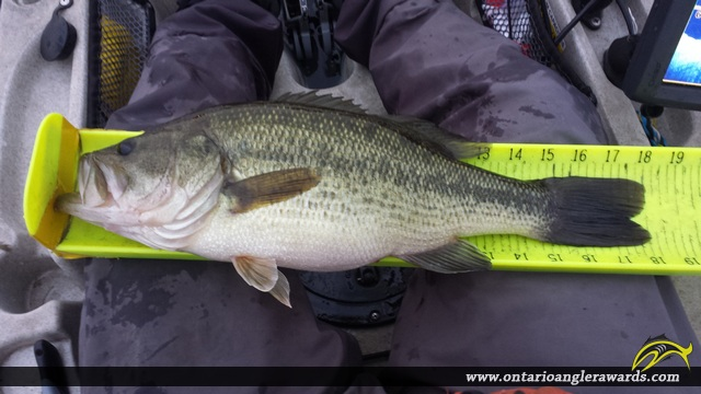 """18"""" Largemouth Bass caught on Bay of Quinte"""
